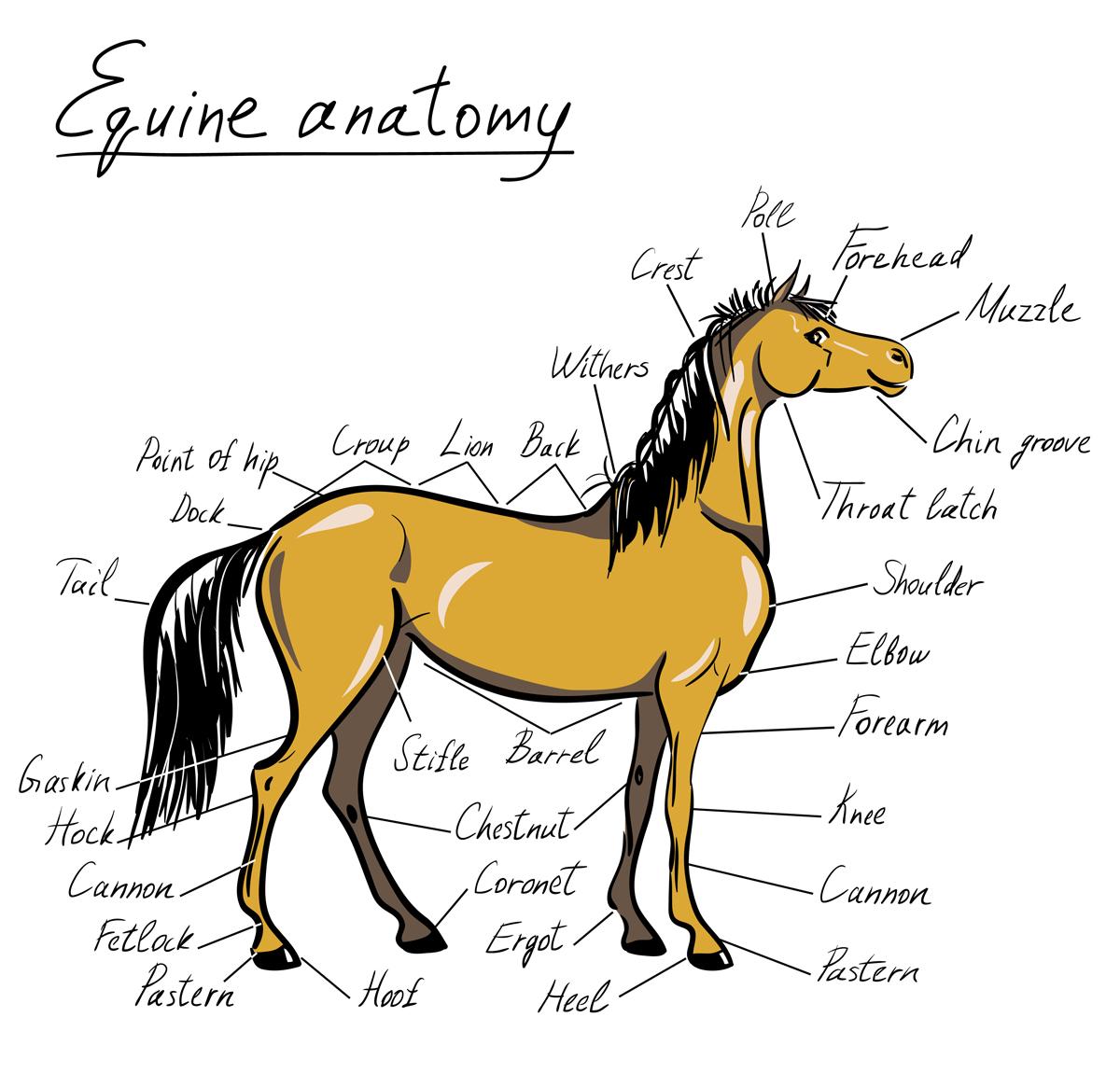 equine anatomy crop 1200px